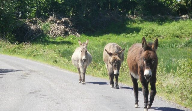 whiddy-donkeys-640x370